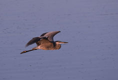 Great Blue Heron flying over water. Early morning Royalty Free Stock Photography