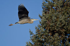 Great Blue Heron Flying Past an Evergreen Tree. Great Blue Heron Flying Low Past an Evergreen Tree Stock Image