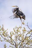Great blue Heron. A Great blue Heron flying from it's perch in a tree Royalty Free Stock Photo