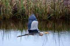 Great Blue Heron Flying, Savannah National Wildlife Refuge Royalty Free Stock Image