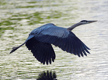 Great Blue Heron flying (side view) Stock Images