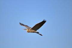 Great Blue Heron Flying. In blue skies Stock Photo