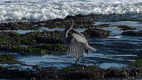 Great Blue Heron Flying in Slow Motion stock video