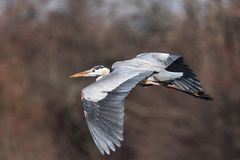 Great Blue Heron in Flight. Great Blue Heron flying by while visiting Augustine Wildlife Area in Central Delaware Royalty Free Stock Photography