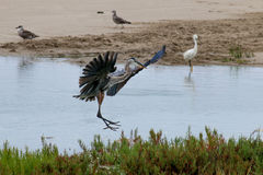 The Great Blue Heron Flying by the Water at Malibu Beach in Augu Stock Images