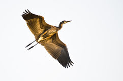 Great Blue Heron Flying with Wings Outstretched. Against a White Background Royalty Free Stock Photo