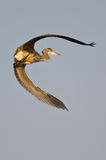Great Blue Heron Flying with Wings Outstretched. Great Blue Heron Flying Away with Wings Outstretched Stock Photos