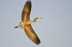 Great Blue Heron Flying with Wings Outstretched. Great Blue Heron Flying with Long Wings Outstretched Royalty Free Stock Images