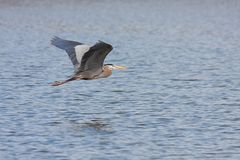 Great Blue Heron Flys Across Water. Like a dart flies through the open air, a great blue heron glides just above blue lake water. The heron has its wings upward royalty free stock images