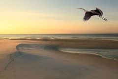 Great Blue Heron Flys Over Beach at Sunrise Stock Photos