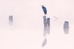 Great Blue Heron in Fog Stock Photos