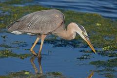 Great Blue Heron Ardea herodias Stock Photography