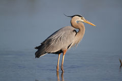 Great Blue Heron - Fort Myers Beach, Florida Stock Image