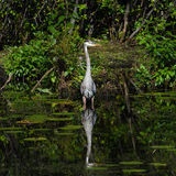 Great blue heron, front view Stock Image