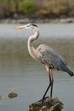 Great Blue Heron, Galapagos, Ecuador Stock Photos