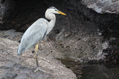 Great blue heron in galapagos islands Royalty Free Stock Photos