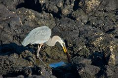 The Great Blue Heron in Galapagos Islands Royalty Free Stock Photos
