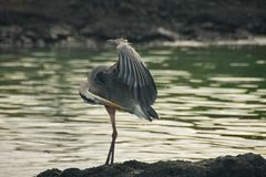 Great Blue Heron in Galapagos Islands Royalty Free Stock Photography
