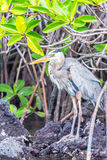 Great Blue Heron in Galapagos Stock Photography
