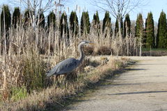 Great Blue Heron in a garden Royalty Free Stock Photos