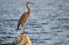 The Great Blue Heron Stock Images