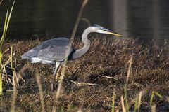 Great Blue Heron Georgia stock photo