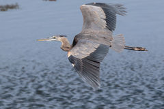 Great Blue Heron Gliding by. Great Blue Heron in flight over the river channel Stock Photo