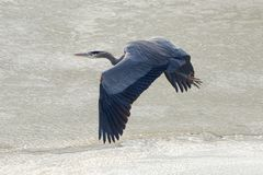 Great Blue Heron Gliding Over A Frozen Lake stock photos