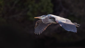 Great Blue Heron gliding over river. Royalty Free Stock Photos