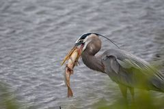 Great Blue Heron with a Golden Carp in it`s mouth stock image