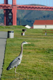 Great Blue Heron and Golden Gate Bridge. A Great Blue Heron hunts gophers near the Warming Hut at Crissey Field in San Francisco.   Golden Gate Bridge in the Stock Photos