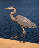 Great blue heron got a leg up. Great blue heron walking along the water's edge Royalty Free Stock Images