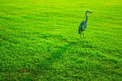 Great blue heron in grass. The sunrise shadow shows a night image of this Great Blue Heron as a curious friend Stock Image
