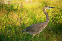 Great Blue Heron in the grass and flowers Stock Image