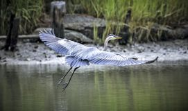 Great blue heron. Flying over back creek stock images