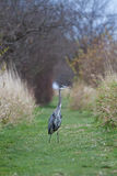 Great Blue Heron. On a green path on a nature reserve Royalty Free Stock Image