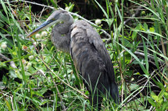 Great Blue Heron greenery. Large Great Blue Heron against greenery in Everglades stock photo