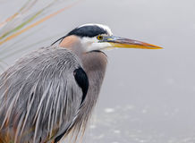 Great Blue Heron Grey Background with grass  Royalty Free Stock Photo