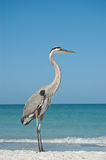 Great Blue Heron on a Gulf Coast Beach. A Great Blue Heron on the sand of a Gulf Coast Florida beach Royalty Free Stock Photography