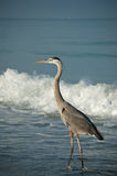 Great Blue Heron on a Gulf Coast Beach with Waves. A sunlit Great Blue Heron walks along a Florida Beach with a breaking wave in the background Royalty Free Stock Image