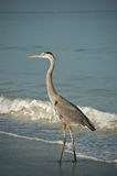 Great Blue Heron on a Gulf Coast Beach with Waves. A sunlit Great Blue Heron walks along a Florida Beach with a breaking wave in the background Stock Photos