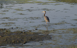Great Blue Heron Hangout. Photo of Great Blue Heron wading through algae in backwater bay on Mississippi River stock image