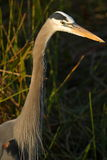 Great Blue Heron Head. A great blue heron in the Anhinga Trail area of Everglades National Park stock photos