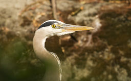 Great Blue Heron Head Stock Photo