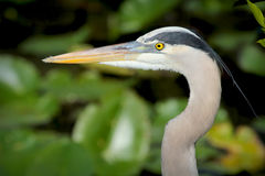 Great blue heron head and neck in profile in Florida. Royalty Free Stock Image