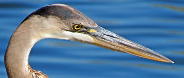 Great Blue Heron Head Shot Royalty Free Stock Photo