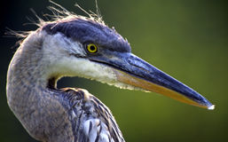 Great Blue Heron Head Shot Royalty Free Stock Photos