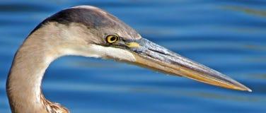 Great Blue Heron Head Shot Royalty Free Stock Photo