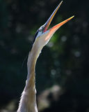 Great blue heron head shot. Great blue heron closeup with mouth open Stock Images