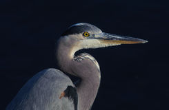 Great Blue Heron. A Great Blue Heron head and shoulder shot Royalty Free Stock Photo